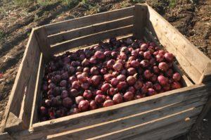 fruits picking en Australie