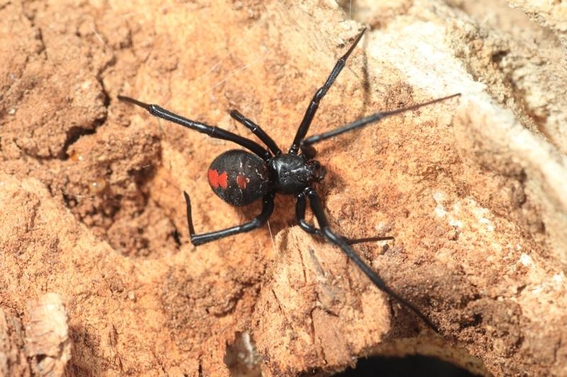 Red Back - 6 animaux les plus dangereux en Australie