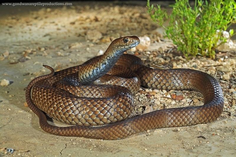 Serpents - 6 animaux les plus dangereux en Australie