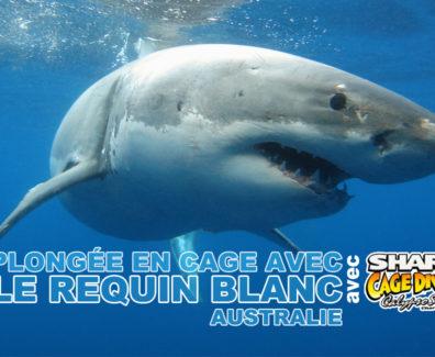 plongee-cage-avec-requin-blanc-australie