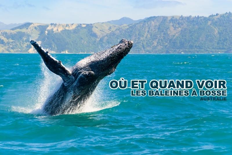 Voir les baleines à bosse en Australie