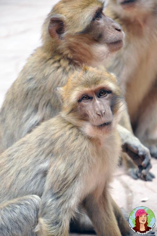 Visiter les cascades Ouzoud - Singes magots