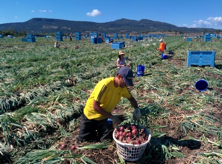 Expérience fruit picking en Australie