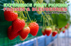 fruit-picking-fraises-blueberrie-cassandre-img