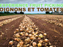 fruit-picking-oignons-tomates-flo-img
