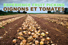 fruit-picking-oignons-tomates-flo-img