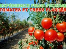 fruit-picking-tomates-trees-planter-hugo-img