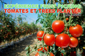 fruit-picking-tomates-trees-planter-hugo-img