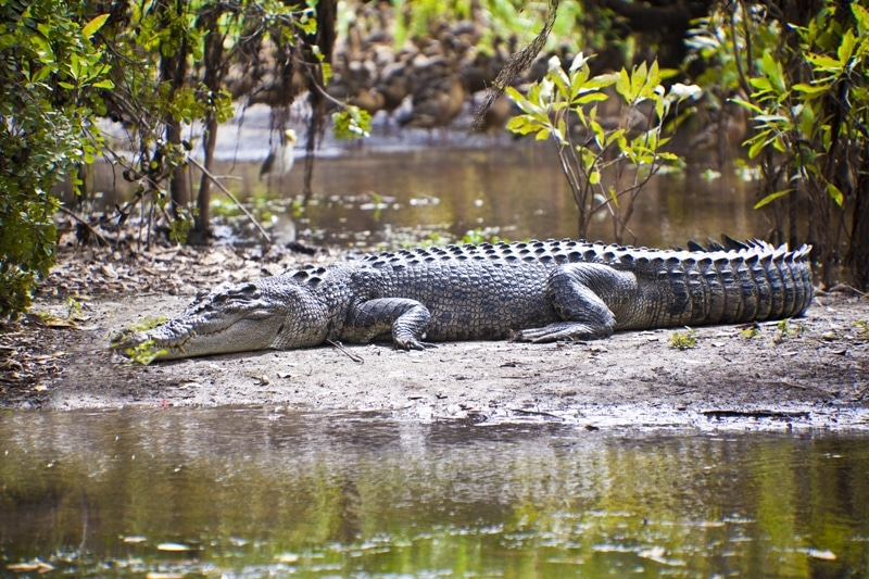 Crocodiles - 6 animaux les plus dangereux en Australie