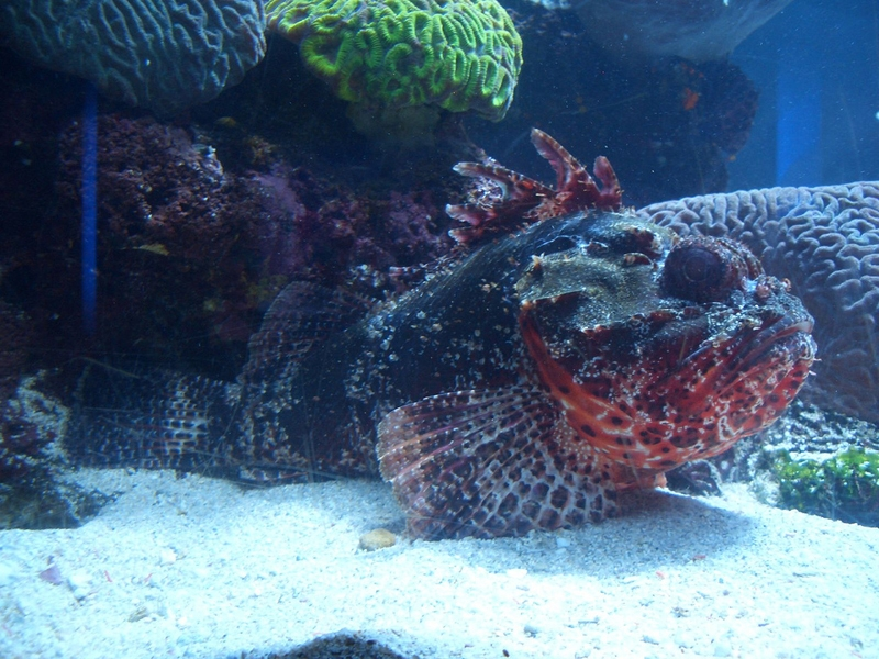 Poisson pierre - 6 animaux les plus dangereux en Australie