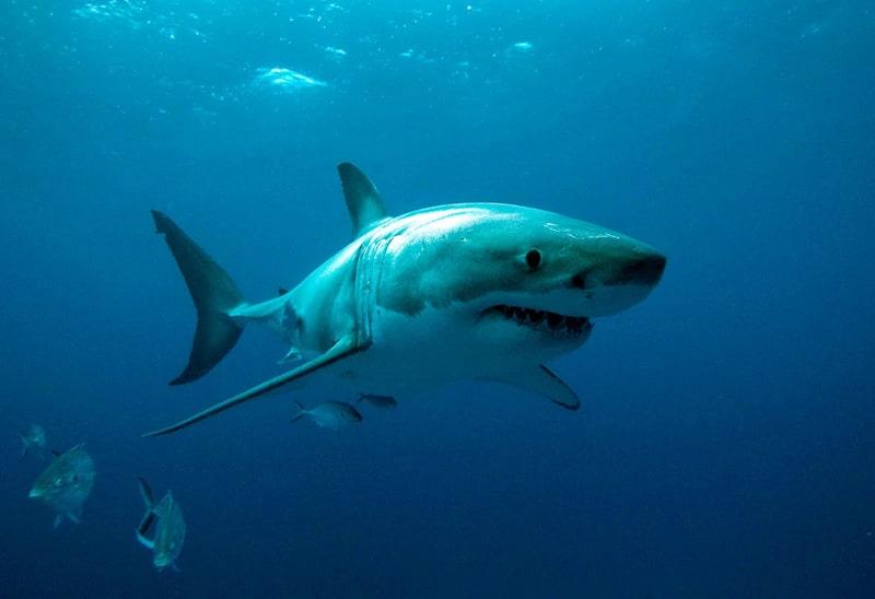 Requins - 6 animaux les plus dangereux en Australie