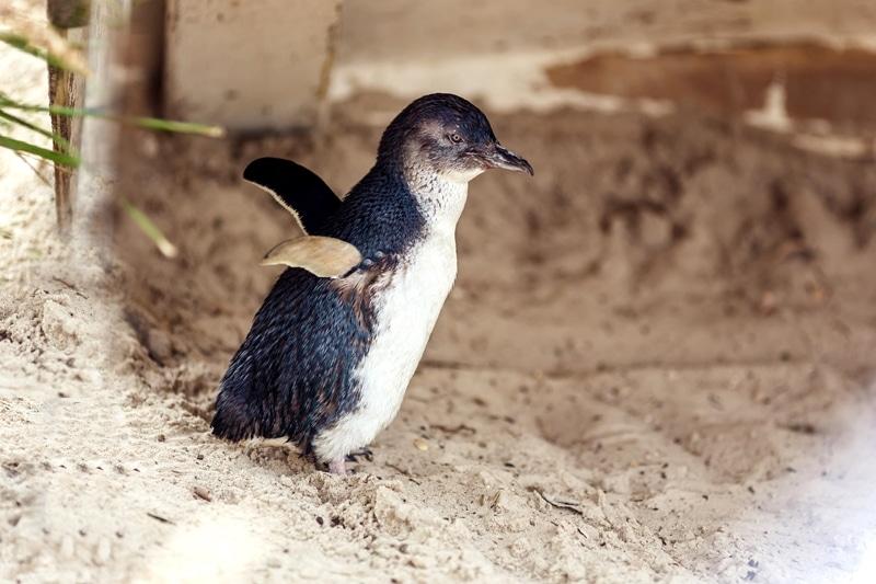 Phillip Island, excursion sur l'île aux pingouins