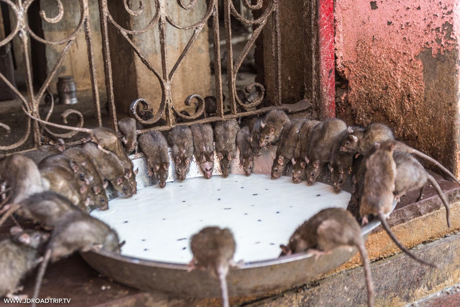 Visiter Bikaner en 2 jours - Temple Karni Mata, Temple des rats