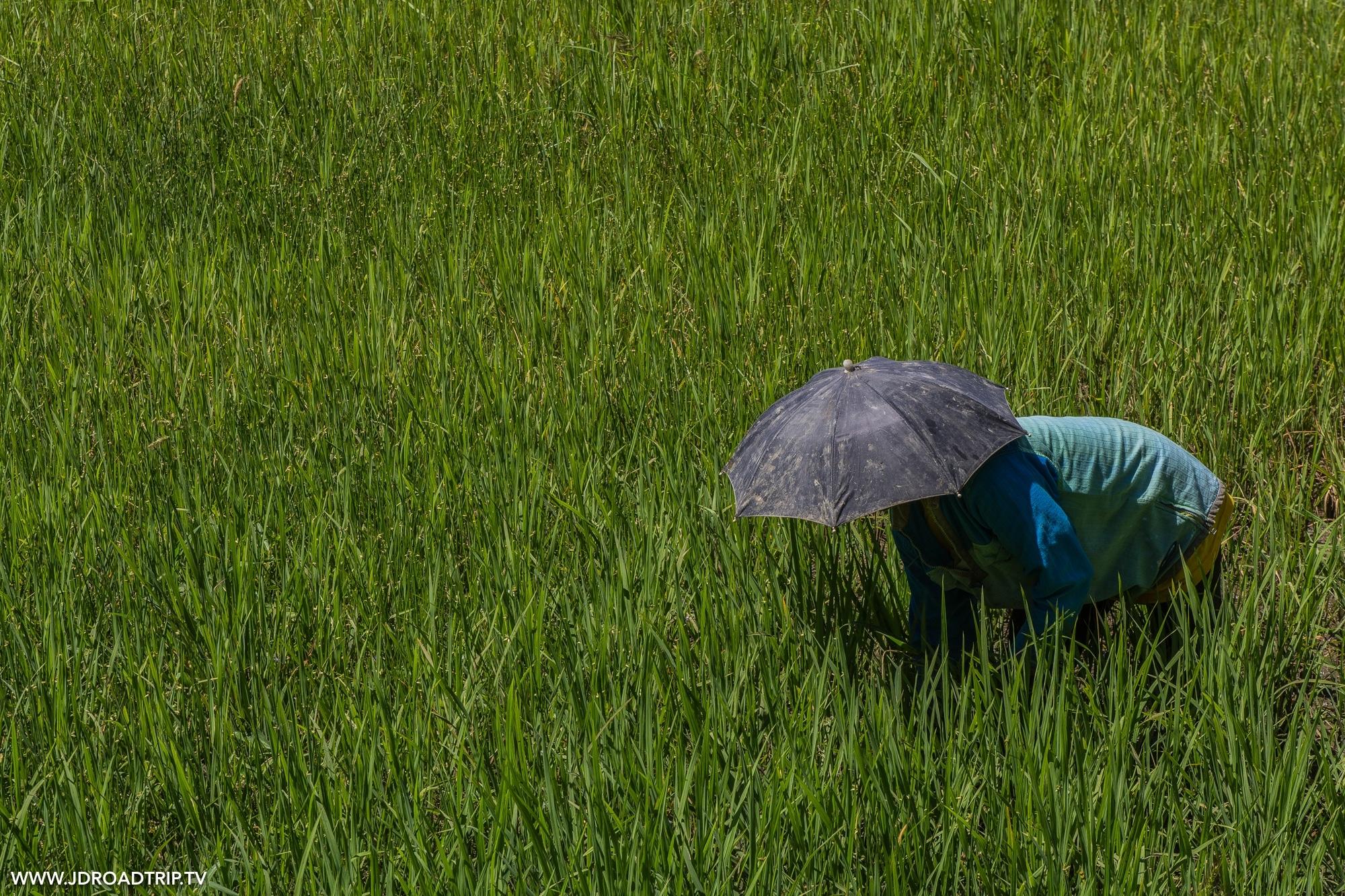 Trek dans les rizières de Banaue et Batad - Travailleuse rizière Philippines