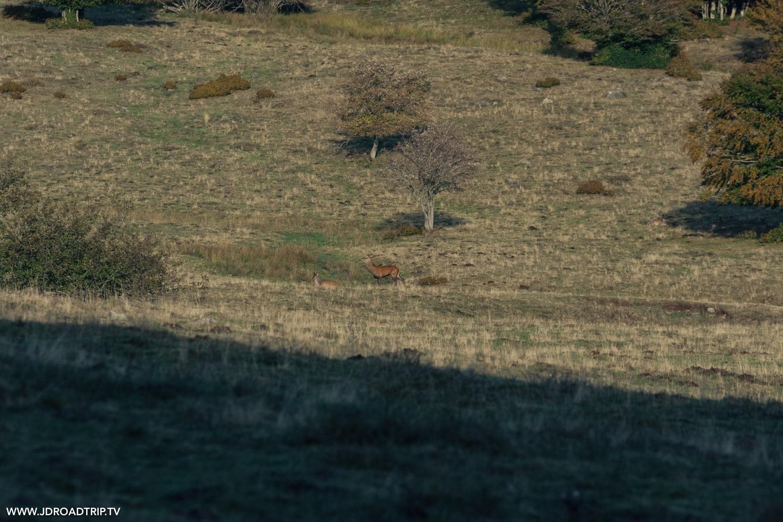 Brame du cerf en Aveyron